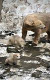 Niedźwiedzie polarni i potomstwa Obrazy Stock