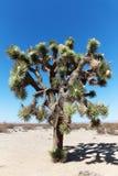 Kwitnie Joshua drzewo Zdjęcia Stock