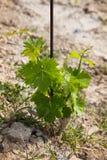 Niedawno uprawiany winogrono grzywna z poparcia prąciem Zdjęcie Stock