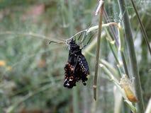 Niedawno Wyłaniający się Czarny Swallowtail motyl Obrazy Stock