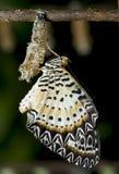 Niedawno wyłaniający się Lacewing motyl. zdjęcie royalty free