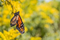 Niedawno wyłaniający się monarcha w morzu Goldenrod Obrazy Royalty Free
