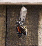 Niedawno Wyłaniający się Monarchiczny motyl na Jasnej chryzalidzie Zdjęcia Stock