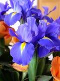 Niederländische Iris hollandica Abschluss oben in einem Blumenstrauß von Rosen Lizenzfreies Stockbild