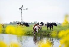 Niederländische Kühe in der grünen Wiese, die durch gelben Frühling gesehen wird, blüht herein Lizenzfreie Stockfotografie