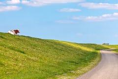 Niederländische Kuh, die auf einem Graben in Friesland liegt Lizenzfreies Stockfoto