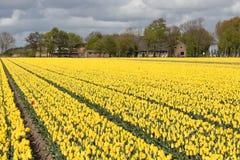 Niederländische ländliche Landschaft mit Bauernhaus und gelbem Tulpenfeld Lizenzfreies Stockfoto