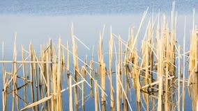 Niederländische Landschaft mit dem Reedwachsen im Wasser Stockbild