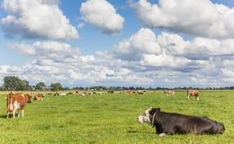 Niederländische Landschaft mit Kühen nahe Groningen Stockbild