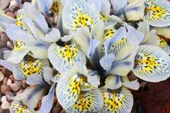 Niederländische Miniaturiris (Iris reticulata) Stockfoto