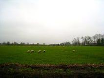 Niederländische Schafe auf einem Gebiet Lizenzfreie Stockfotos