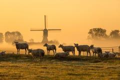 Niederländische Schafe im Morgennebel stockfotografie