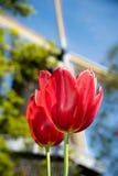 Niederländische Tulpen stockbild