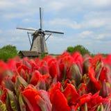 Niederländische Windmühlen mit Tulpen Stockbilder
