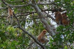 Niederländischer Affe, der auf einem Baum unter Grünblättern u. x28 sitzt; Kumai, Indone Lizenzfreie Stockfotos