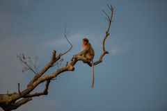 Niederländischer Affe, der auf einer einsamen Niederlassung u. einem x28 sitzt; Kumai, Indonesia& x29; Stockfoto