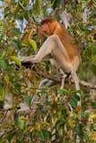 Niederländischer Affe, der auf einer Niederlassung eines Baums Kumai, Indonesien sitzt Stockbilder