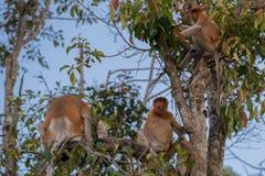 Niederländischer Affe, der auf einer Niederlassung eines hohen Baums und der Blicke forwar sitzt Stockbild