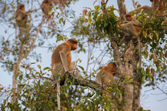 Niederländischer Affe, der zurück auf einer Niederlassung eines hohen Baums und der Blicke u. des x28 sitzt; Stockfotos
