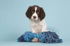 Niederländischer partidge Hundewelpe mit einem blauen Spielzeug Lizenzfreie Stockfotos