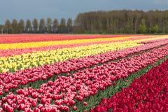 Niederländisches Ackerland mit bunten Tulpenfeldern Lizenzfreie Stockfotografie