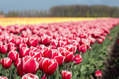 Niederländisches Ackerland mit bunten Tulpenfeldern Stockfotos