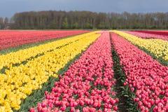 Niederländisches Ackerland mit bunten Tulpenfeldern Stockfoto