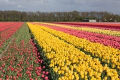 Niederländisches Ackerland mit bunten Tulpenfeldern Lizenzfreies Stockfoto