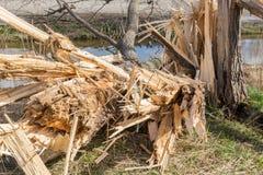 Niederländisches Ackerland mit durchgebrannt hinunter Baum nach schwerem Frühlingssturm Stockfoto