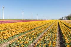 Niederländisches Ackerland mit gelbem Tulpenfeld und großen windturbines Stockbilder