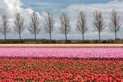 Niederländisches Ackerland mit Landstraße und buntem Tulpenfeld Lizenzfreie Stockfotos