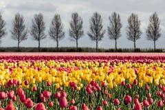 Niederländisches Ackerland mit Landstraße und buntem Tulpenfeld Lizenzfreie Stockbilder