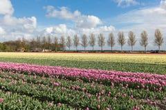 Niederländisches Ackerland mit Landstraße und buntem Tulpenfeld Lizenzfreie Stockfotografie