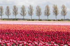 Niederländisches Ackerland mit Landstraße und buntem Tulpenfeld Stockfotos