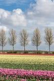 Niederländisches Ackerland mit Landstraße und buntem Tulpenfeld Lizenzfreies Stockfoto