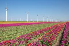 Niederländisches Ackerland mit purpurrotem Tulpenfeld und großen windturbines Stockfoto