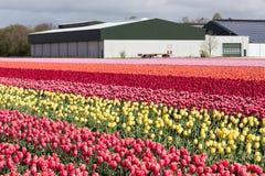 Niederländisches Ackerland mit Scheune und buntem Tulpenfeld Stockfotos
