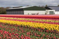 Niederländisches Ackerland mit Scheune und buntem Tulpenfeld Stockbild