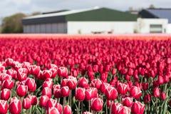 Niederländisches Ackerland mit Scheune und buntem Tulpenfeld Stockfoto