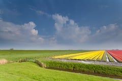 Niederländisches Ackerland mit Tulpenfeld Lizenzfreie Stockfotos