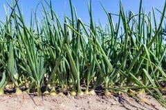 Niederländisches Ackerland mit wachsenden Zwiebeln Lizenzfreies Stockbild