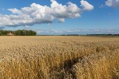 Niederländisches Ackerland mit Weizenfeld und cloudscape Stockfotografie
