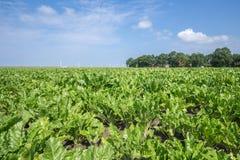Niederländisches Ackerland mit Zuckerrüben Lizenzfreie Stockfotos