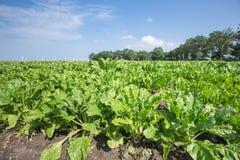 Niederländisches Ackerland mit Zuckerrüben Stockfotografie