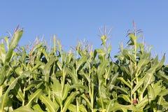 Niederländisches Maisfeld mit Hintergrund des blauen Himmels Stockfoto