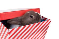 Niederländisches zwergartiges Kaninchen des Babys schaut aus Geschenkbox heraus Lokalisiert auf Whit Stockfotografie