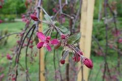Niederlassung crabapple Kulturvarietät königlicher Schönheit mit purpurroten Blättern und tiefrosa Blumen im Frühjahr stockfoto