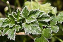 Niederlassung der bereiften Petersilie Herbst Erster Frost im Garten herein Stockbild