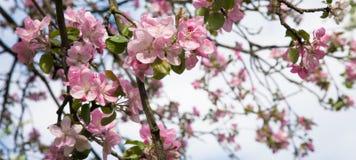 Niederlassung der blühenden Apfelbaumnahaufnahme Lizenzfreies Stockbild
