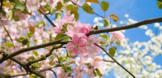 Niederlassung der Niederlassung der blühenden Apfelbaumnahaufnahme Lizenzfreie Stockbilder